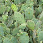 tulum-cactus