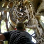 Monteverde-Ficus-Manuel-unten