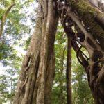 Monteverde-Ficus-Stamm