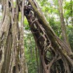Monteverde-Ficus-Theresa