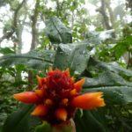Monteverde-Nebelwald-Blume-orange
