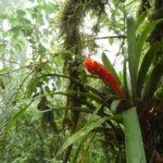 Monteverde-Nebelwald-Blume-rot