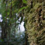 Monteverde-Nebelwald-Moos
