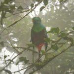 Monteverde-Nebelwald-Quetzal