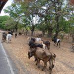 Ometepe-Ochsenverkehr