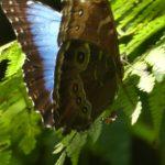 Rio-Celeste-Schmetterling