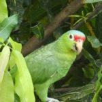 Manuel-Antonio-Papagei