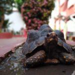 Cartagena_Schildkroete