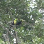 Minca_Birdwatching_Tukan