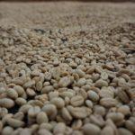 Salento_Kaffee_trocknen