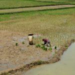 Toraja-Menschen-Reis