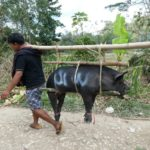 Toraja_Beerdigung_Schwein