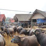 Toraja_Markt_Bueffel
