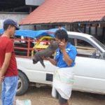 Toraja_Markt_Schweinchen