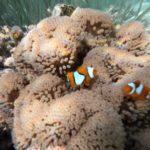 Togeans_Schnorcheln_Nemo
