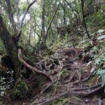 Cameron_Highlands_Hike_Wurzeln