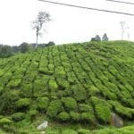 Cameron_Highlands_Teefeld