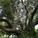 Auckland_Baum