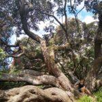 Auckland_Baum_Theresa