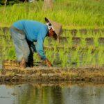 Bali_Canggu_Reispflanzen