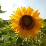 Bali_Canggu_Sonnenblume