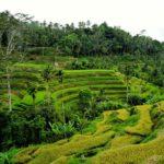 Bali_Tegallalang_Terrassen