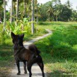 Bali_Ubud_Hund
