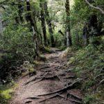 Tongariro_Wurzel